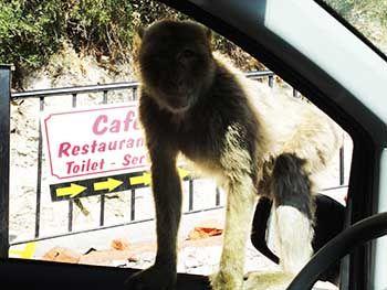 Monos en Penon de Gibraltar - Tusguiasdeviaje