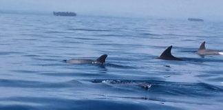 Delfines en Islas de San Blas