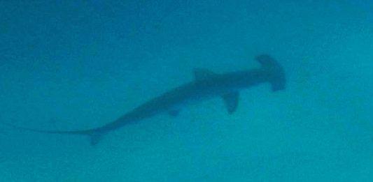 buceo con Tiburon Martillo en Islas Galapagos