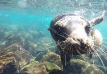 nadar y jugar con leones marinos en islas galapagos