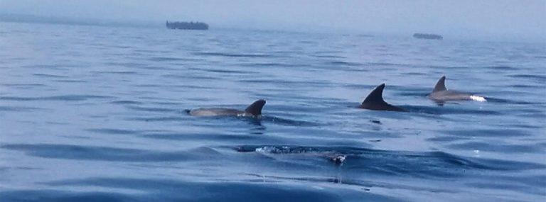 Delfines en Panamá