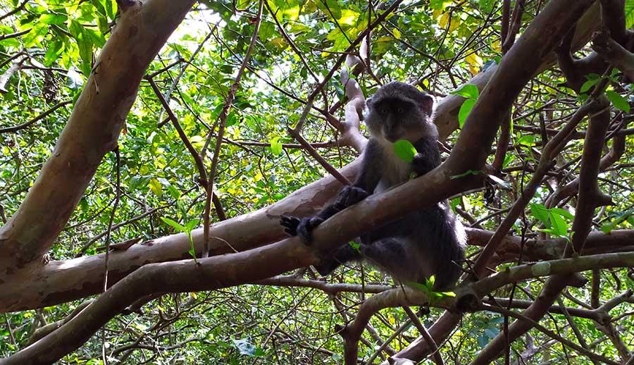 Jozani Forest en Zanzibar